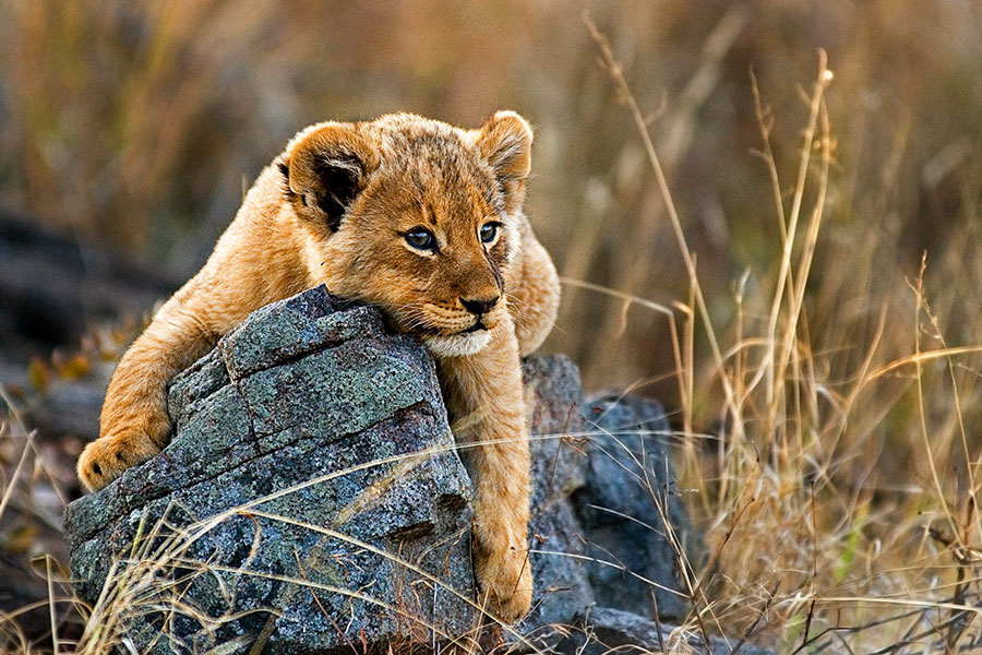 Lion Cub in Kruger National Park, Londolozi Sabi Sands Safari - Cape Town Explorer and Family Safari Adventure