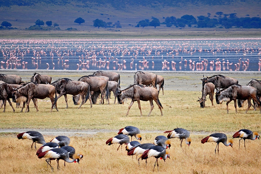Wildebeest in Ngorongoro Crater, Tanzania - Tanzania Safari Packages