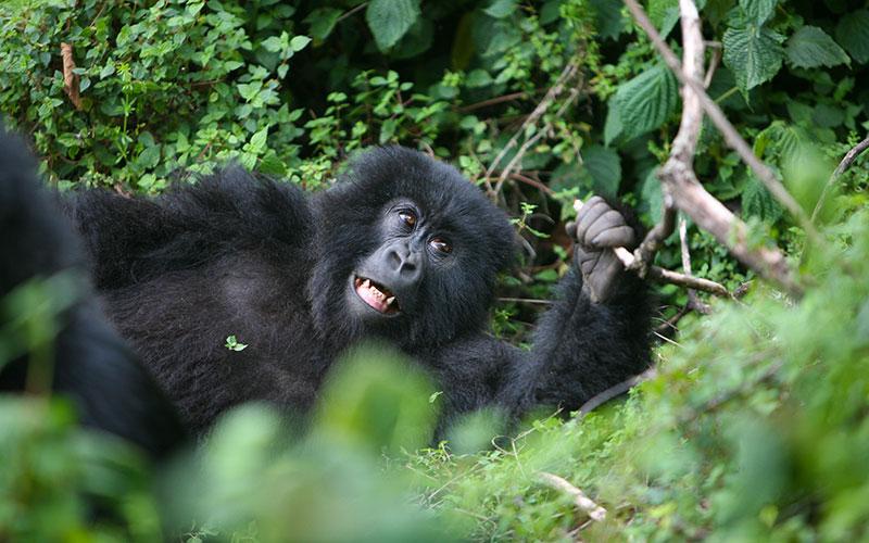 Gorilla Trekking Rwanda - Wild Baby Mountain Gorilla