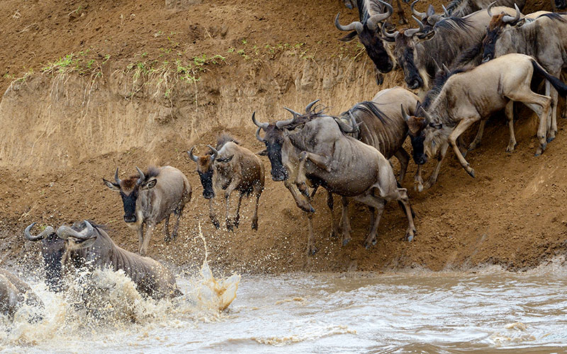 Great Migration Safaris - Wildebeest Crossing the Mara River in Kenya