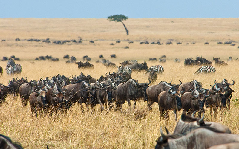 Wildebeest in the Masai Mara During the Great Migration in Kenya