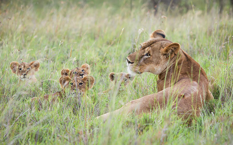 Lion and Her Cubs in the Laikipia Region of Northern Kenya