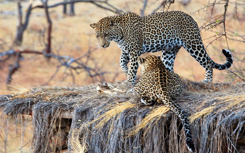 Leopards on Safari in Tanzania