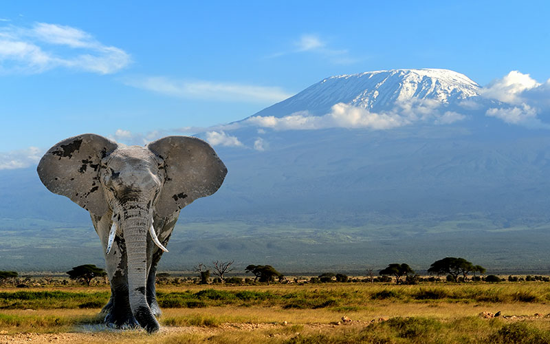 Elephant in Front of Mt Kilimanjaro Tanzania