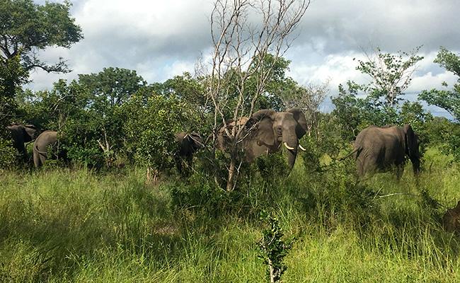 Elephants on a Sabi Sands Green Season Safari - South Africa in March