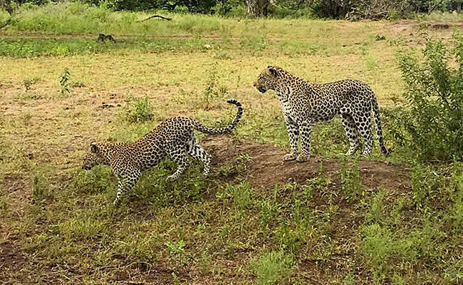 Mother Leopard and Her Cub on a Sabi Sands Green Season Safari - South Africa in March