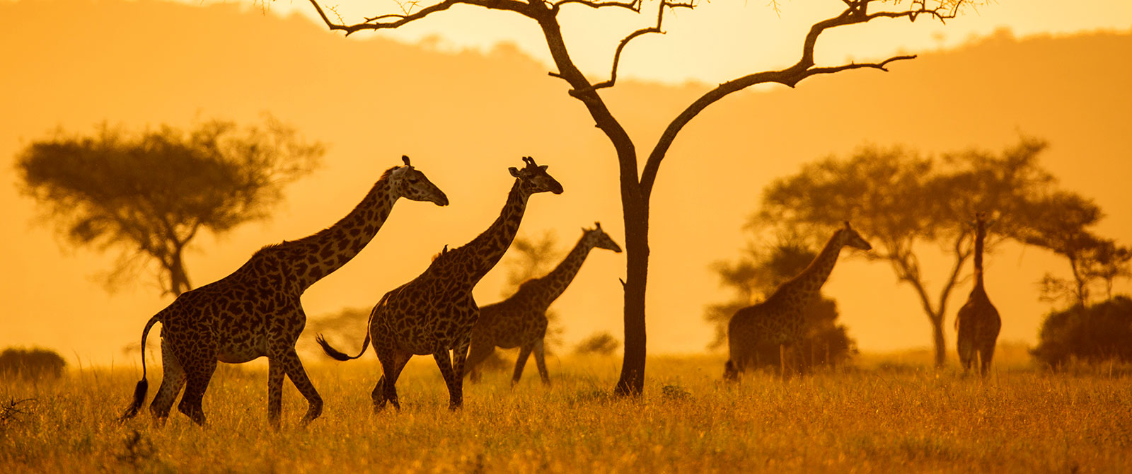Giraffes on the Plains of East Africa at Sunset
