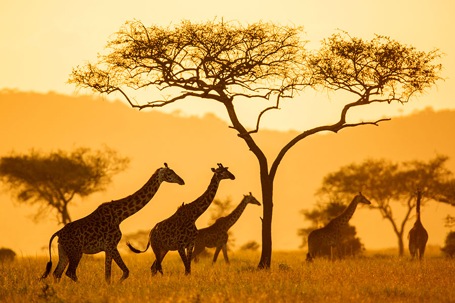 Giraffes in Serengeti National Park, Tanzania - Serengeti Pioneer Camp