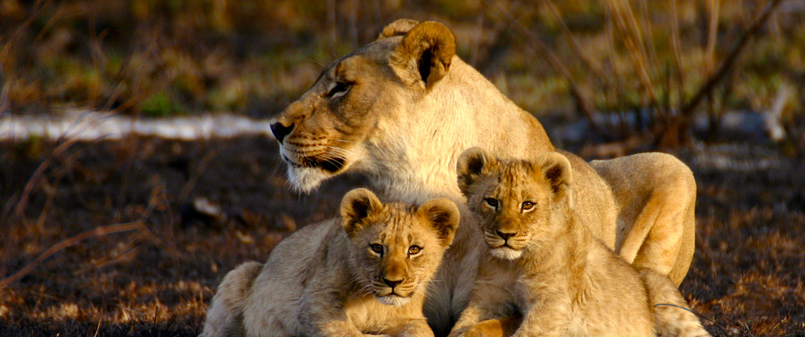 Lions at Jamala Madikwe - Best South Africa Safari Tours