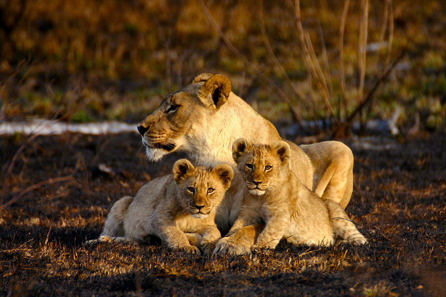 Lions at Jamala Madikwe - Best South Africa Safari Tours