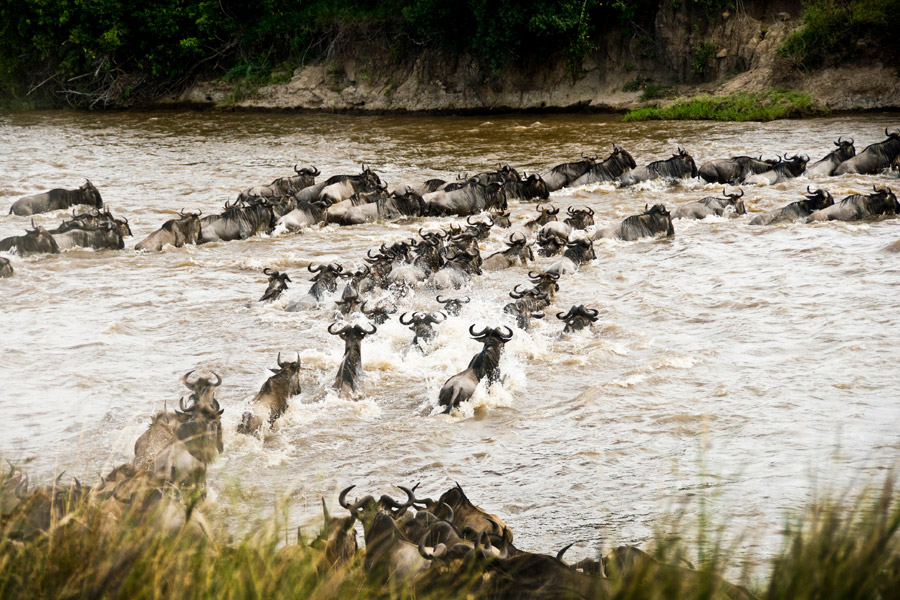Wildebeest crossing the river in the Great Migration
