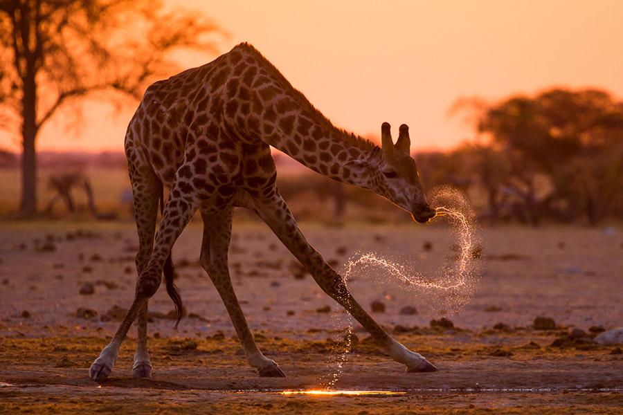 Giraffe drinking in the Okavango Delta