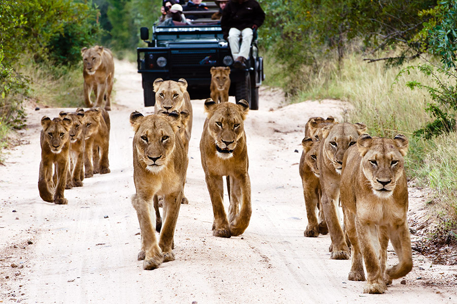 Pride of lions on a game drive in the Sabi Sands