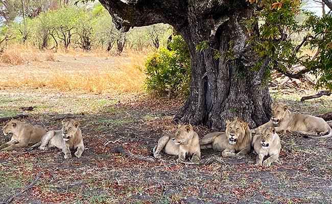 Lions in Africa - Tanzania Safari Travel Tips