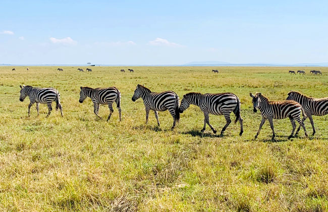 Zebras in Kenya - African Safari