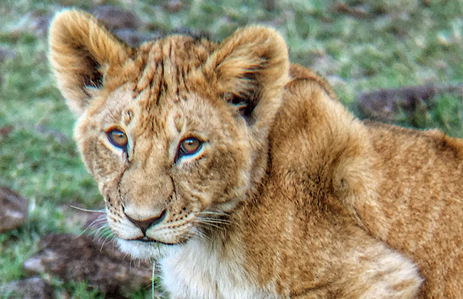 Lion Cub in the Masai Mara, Kenya
