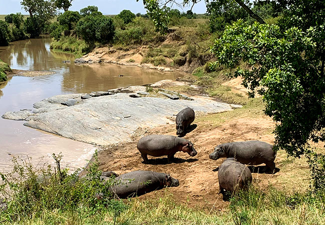 Hippos in Front of Camp in Kenya