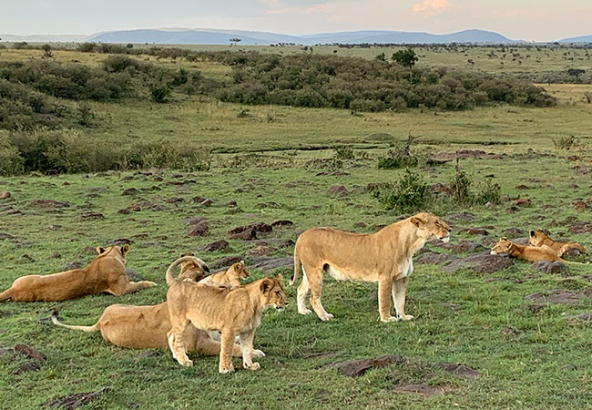 African Safari in Kenya - Lions in the Masai Mara