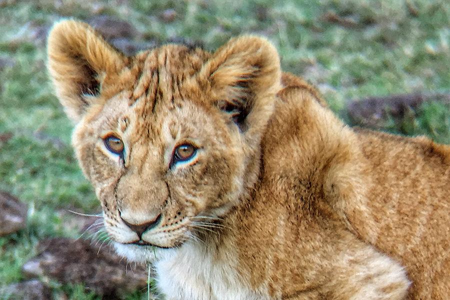 Lion Cub Seen on an African Safari in the Masai Mara, Kenya