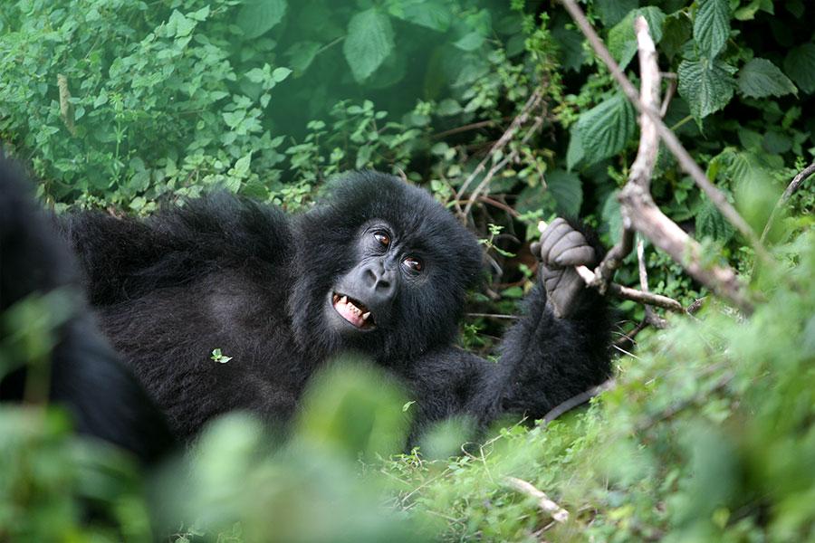 Gorilla Trekking & Gorilla Safaris in Africa - Best Travel Agency