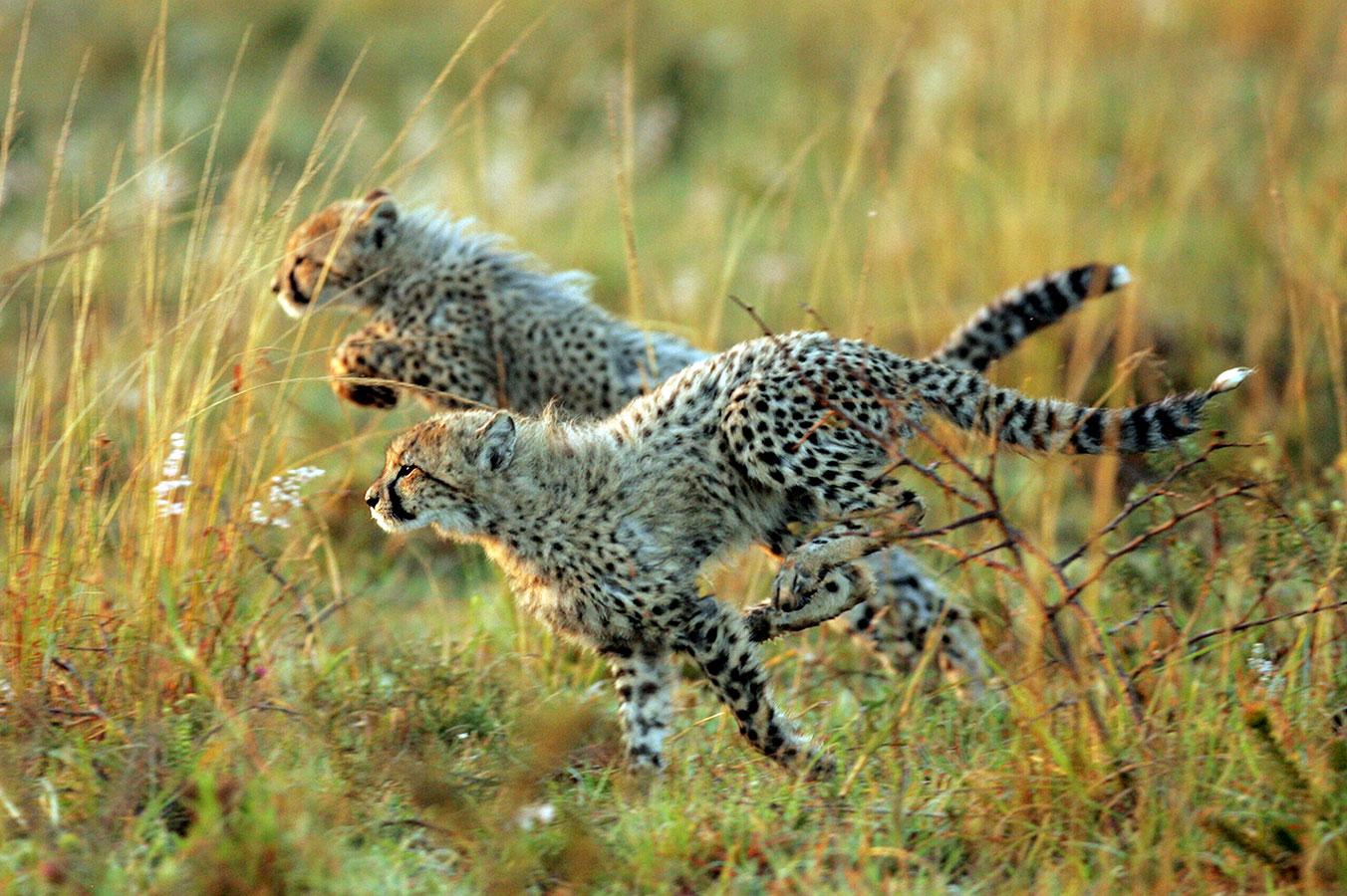 Cheetah Cubs Running in Thanda Safari Big 5 Game Reserve