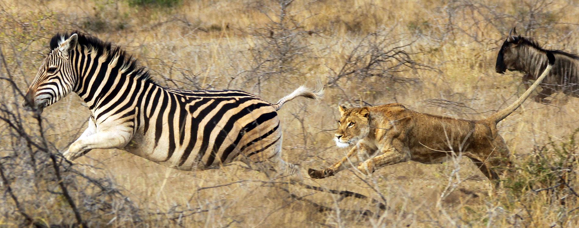 Lion Chasing a Zebra in Africa - Thanda Safari South Africa