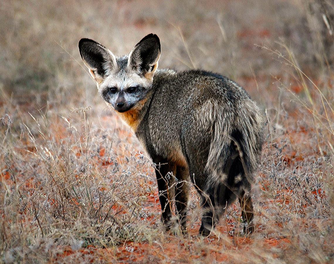 Bat Eared Fox at Tswalu Kalahari, South Africa