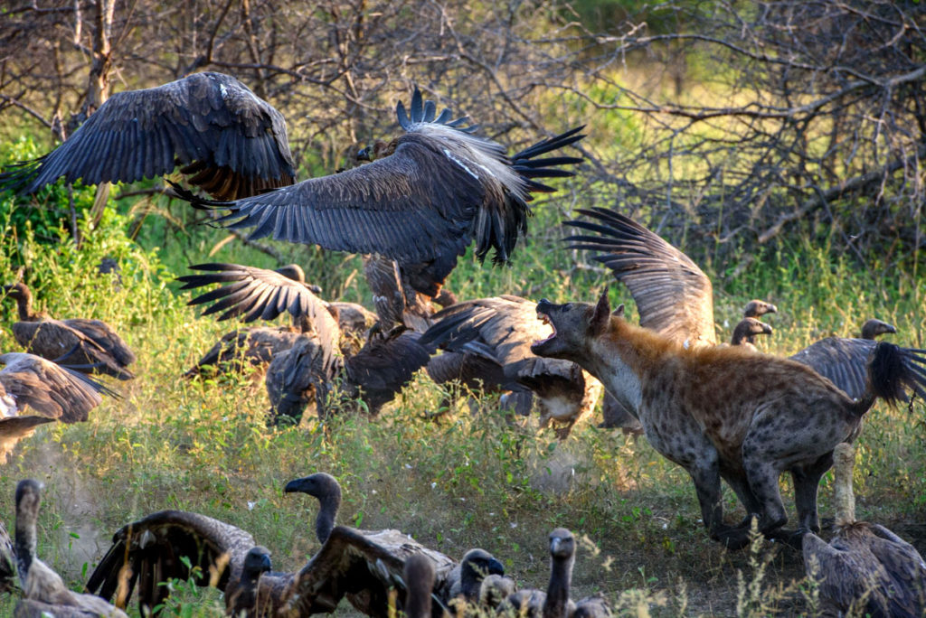 Hyena Chasing Vultures - Sabi Sabi Luxury Safari Game Reserve, South Africa