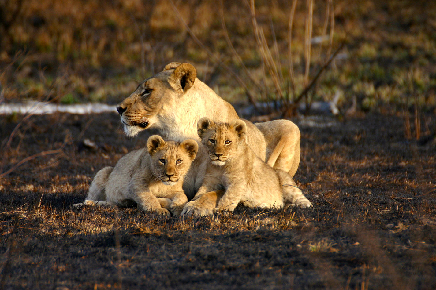 Lions in Madikwe Game Reserve - Big 5 Safaris South Africa