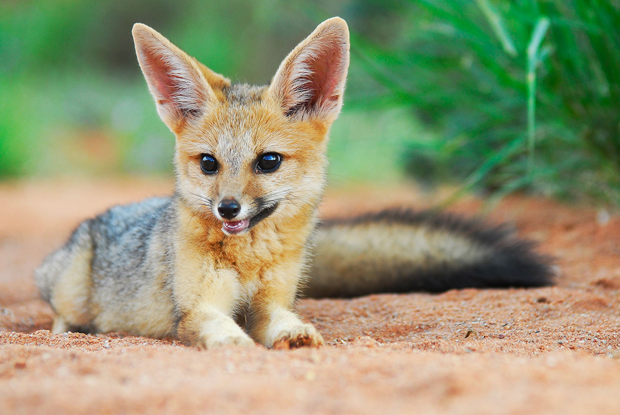 Cape Fox at Tswalu Kalahari, South Africa - 5 Star Private Safari Lodges