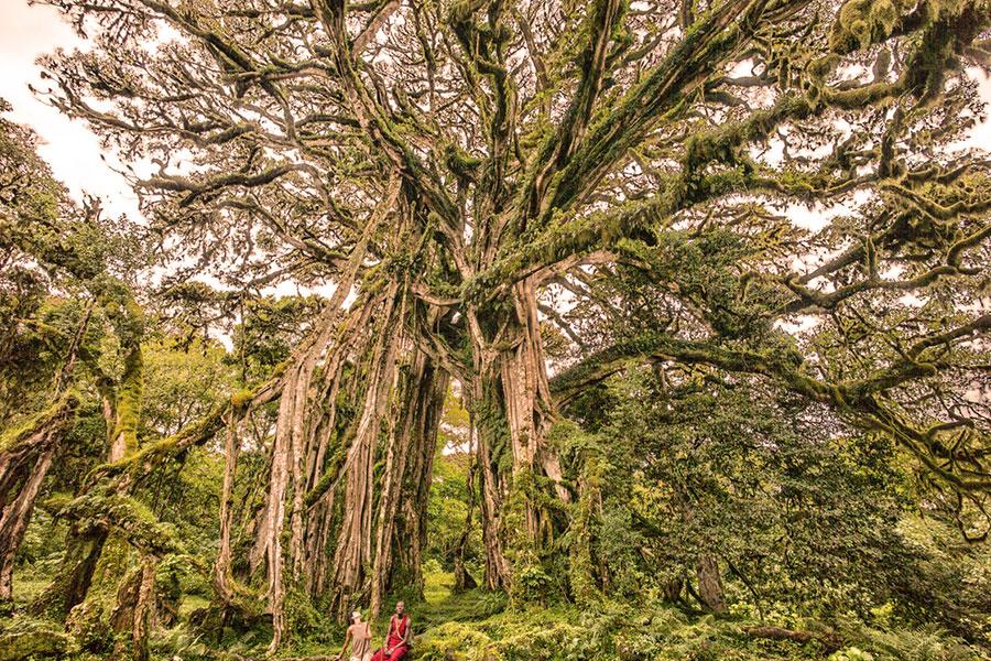 Chyulu Hills Kenya - Cloud Forest at Campi ya Kanzi